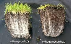 fungos-micorrizicos-imagem-2